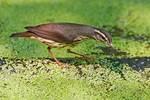 Louisiana waterthrush in on summer pond