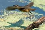 Louisiana waterthrush in flight
