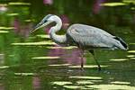 Great blue heron on early August pond