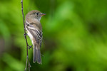 Least flycatcher in early August