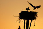 Ospreys and nest silhouette at dawn