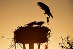 Adult osprey bringing fish to nest