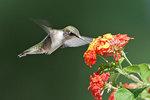 Female ruby-throated hummingbird in late August