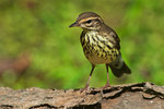 Northern waterthrush in late August