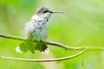 Juvenile ruby-throated hummingbird in late August