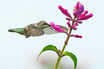 Juvenile ruby-throated hummingbird in late August nectaring on rosebud sage