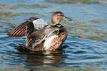 Female blue-winged teal bathing in mid September