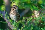 Lincoln's sparrow in mid-September