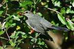 Gray catbird with autumn olive berry in mid September