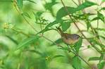 Female common yellowthroat in mid-September