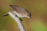 Northern waterthrush in autumn songbird migration