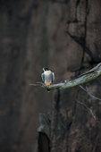 Peregrine falcon in cliff habitat