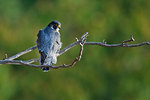 Adult peregrine falcon on perch