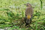 Palm warbler during autumn migration