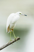 Immature little blue heron in autumn with leg bands