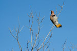 Yellow=shafted flicker on look-out perch