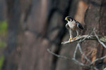 Banded adult peregrine falcon
