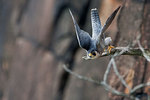 Peregrine falcon take-off