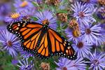 Pristine monarch butterfly on New England asters