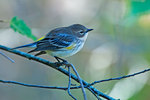 Yellow-rumped warbler in early October