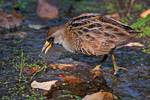 Sora rail foraging during autumn migration, rails, fall migration,