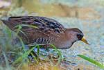 Sora rail foraging in freshwater wetland during autumn migration,