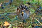 Sora rail foraging during autumn migration