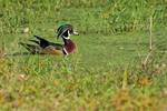 Male wood duck on mid-October pond