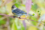 Yellow-rumped warbler in autumn pastel colors