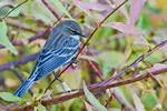 Male yellow-rumped warbler in fall