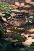 Sora rail in mid-October fall migration