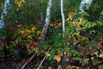 Early October colors with birches