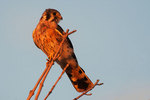 Male American kestrel in last October light