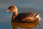 Pied-billed grebe in late October