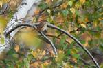 Hermit thrush in late October, birds