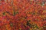 Sweet gum tree in late October,