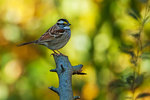 White-throated sparrow in late October colors