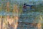 Male wood duck on late October pond
