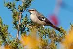 Northern mockingbird in autumn