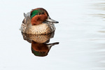 Drake green-winged teal on November pond