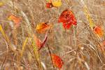 Red maple leaves among switchgrass in early November