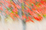Abstract of red maple in early November