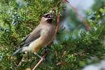 Cedar waxwing with cedar berry