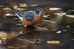 American robin reflection in November pond