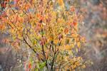 Black cherry tree in mid-November