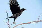 American crow take-off