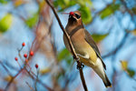 Cedar waxwing with multiflora rose berry in late November