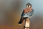 Male American kestrel in late November