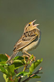 Grasshopper sparrow singing on nesting grounds