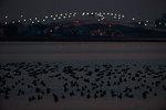 Brant geese at nightfall